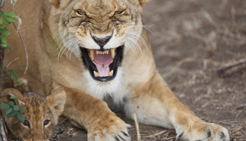 Child sex lioness protecting cub Healthista