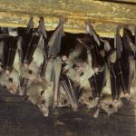Global Health: Marburg Virus, Related to Ebola, Is Found in Bats in West Africa