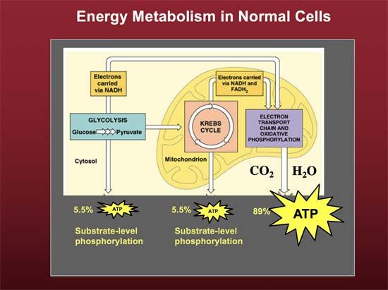 energy metabolism in normal cells