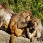 Chinese scientists give monkeys human brain genes in 'morally risky' experiment