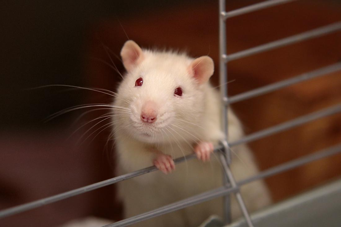 picture of white rat