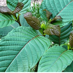 A simple white vein Kratom guide