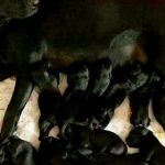 Black Lab gives birth to 13 puppies, shocks owners: 'They were just flying out'